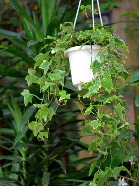 Cây thường xuân rất hiệu quả trong việc làm sạch không khí và làm mát   không gian.