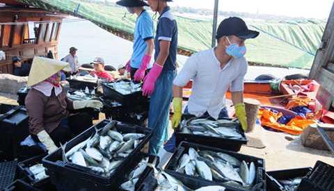 Tàu vừa cập cảng sông Gianh, cá đã được thu mua - Ảnh: L.Giang