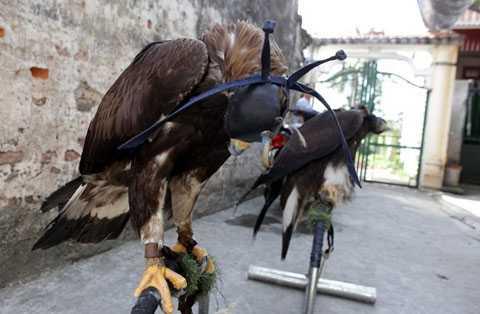 Đại bàng vàng Mông Cổ có tên khoa học là   Golden Eagle, khi nhập từ Slovenia về Việt Nam với đầy đủ giấy tờ có giá   khoảng 10.000 USD/con. Cặp đại bàng của anh Nguyễn Mạnh Hà là 2 con duy   nhất có đầy đủ giấy tờ hơp lệ ở Việt Nam.