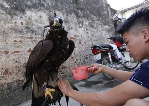 Đại bàng vàng Mông Cổ sống ở vùng có   khí hậu lạnh, chúng thoát nhiệt ở đôi chân. Khi về Việt Nam, người chơi   thường tưới nước hay cho ít đá vào chân của chúng để hạ nhiệt.