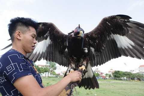 Hai chú chim đại bàng vàng Mông   Cổ, một đực, một cái, khoảng 4 - 5 năm nữa mới sinh sản được. Chính vì   vậy, người chơi loài này đòi hỏi sự kiên trì, đầu tư tiền bạc và công   sức. Mỗi tháng riêng tiền thức ăn gần 1 triệu đồng/con, chưa kể thuê   người chăm sóc.