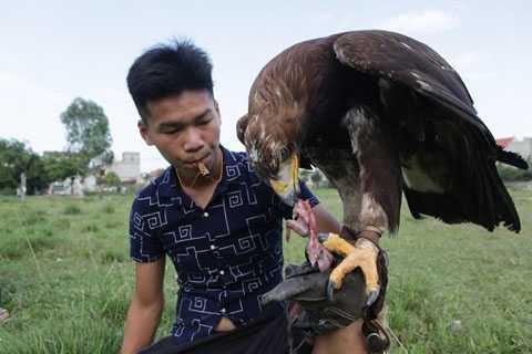 Thức ăn của giống đại bàng vàng Mông   Cổ là các loại thịt động vật như gà, chuột và chim nhỏ. Những người chơi   cho biết, để huấn luyện chim săn mồi được thuần thục là cả một quá   trình khó khăn từ việc ép cân đến việc huấn luyện sao cho chim bay khi   nghe thấy tiếng còi của chủ nhân.