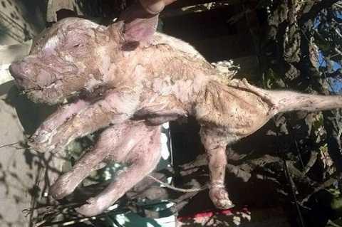 Người nông dân Argentina đã rất ngạc nhiên khi lợn nái nhà ông sinh ra lợn con 8 chân. Ảnh The Mirror