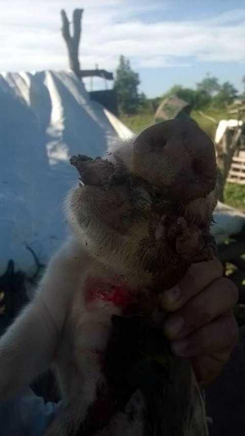 Ông còn sốc khi con lợn thứ hai được sinh ra có tới hai miệng. Ảnh The Mirror