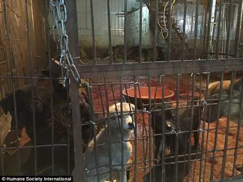 Hình ảnh rợn người cho thấy những con chó đáng thương bị nhốt tại cơ sở giết mổ ở chợ Ngọc Lâm.