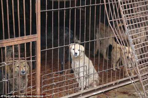 Những chú chó đáng thương bị nhốt trong lồng sắt chờ tới lượt bị xẻ thịt.