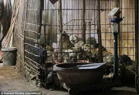 Mỗi năm, có tới 10-20 triệu con chó   bị giết để trở thành món ăn cho người dân ở Trung Quốc, theo thống kê   của Channel News Asia.