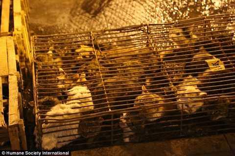 Hàng chục con mèo bị nhồi nhét trong lồng sắt chật chội trước khi bị đem giết thịt.