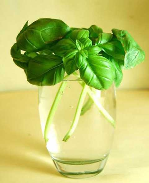 Húng quế: Đặt ngọn húng quế dài 5 – 7cm   vào cốc nước, sau đó đặt dưới ánh sáng Mặt trời trực tiếp. Khi rễ mới   mọc ra dài đến 5cm, bạn chuyển chúng vào chậu và thường xuyên thay nước   để cây không bị thối.