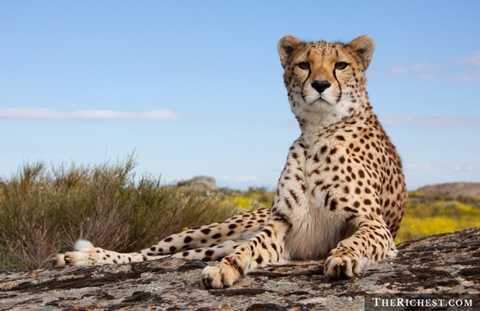 Thú nuôi đặc biệt. Tiêu tốn: > 150.000 USD. Báo, chim ưng, đại bàng, sư tử, hổ ... là những thú nuôi đặc biệt và rất tốn kém, tỉ mẩn để nuôi. Các đại gia Trung Đông luôn là những người dẫn đầu trong việc chơi trội với các vật nuôi thuộc dạng