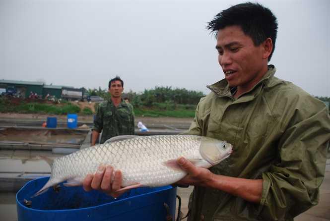 Con trai ông Tựu thu cá trắm giòn