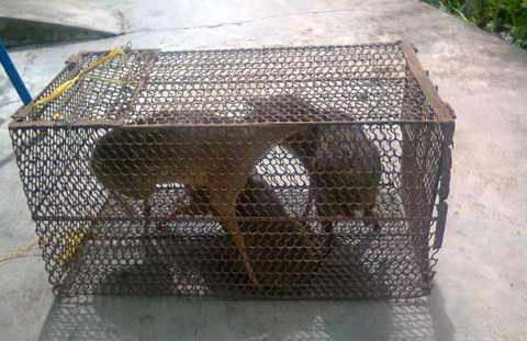 Chuột hươu bị lâm tặc rao bán
