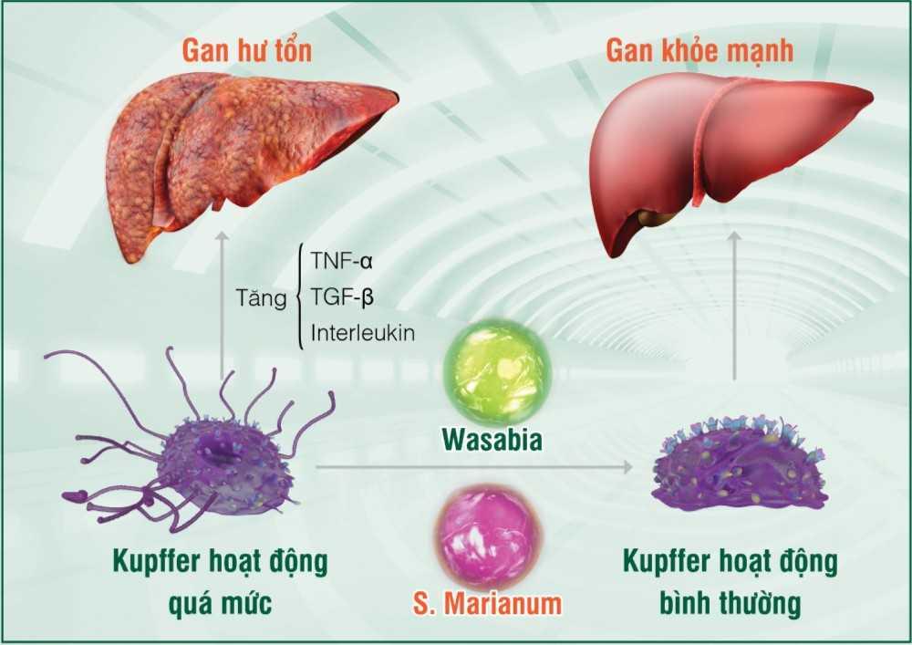 Tinh chất Wasabia và S. Marianum (có trong HEWEL) giúp kiểm soát hoạt động tế bào Kupffer, từ đó giúp phòng, trị hiệu quả các bệnh lý gan từ gốc