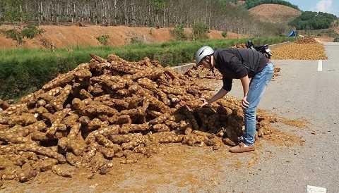 Loại cây Cu Li được thương lái thu mua ồ ạt