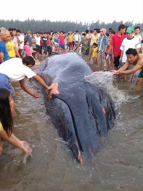 Người dân tát nước lên thân cá, làm mát thân nhiệt cá voi