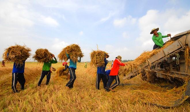 Thương lái tăng cường thu gom lúa gạo xuất khẩu kéo giá gạo tại thị trường nội địa tăng lên. Ảnh: N. Trinh