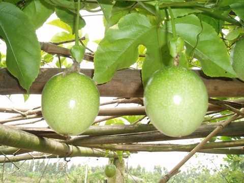 Lâu nay, người trồng chanh dây ở các tỉnh Tây Nguyên thường trồng theo mô hình truyền thống (trồng giàn). Các giàn cao từ 1,8 - 2m thuận tiện cho cây leo lên sinh trưởng.