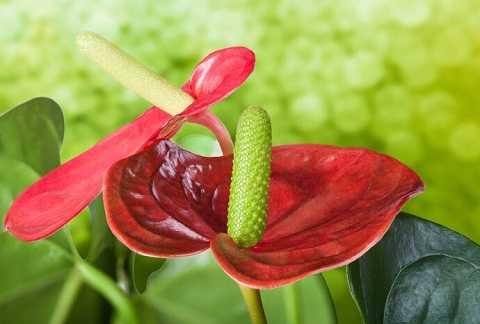 Mo hoa dạng phiến nở rộng hình tim, có màu đỏ ngọc, hoa thường có màu vàng đính trên mo hoa.