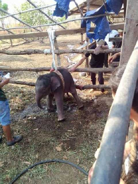 Chú voi bị rơi xuống giếng được mọi người chăm sóc Ảnh: Thanh Hải