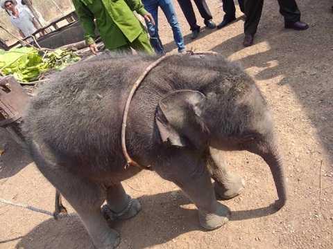 Cơ quan chức năng đang tiến hành chăm sóc sức khỏe cho voi Ảnh: Thanh Hải