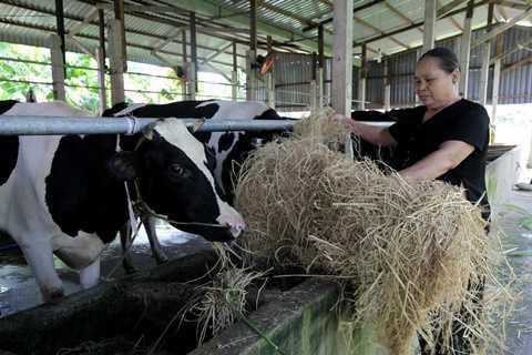 Sau hơn 1 tháng triển khai chương trình  cung cấp cám hỗn hợp trực tiếp, nhiều hộ chăn nuôi bò sữa ở Củ Chi (TP.HCM), Long An, và Tiền Giang  tham gia chương trình đã gửi những thông tin tích cực về Vinamilk