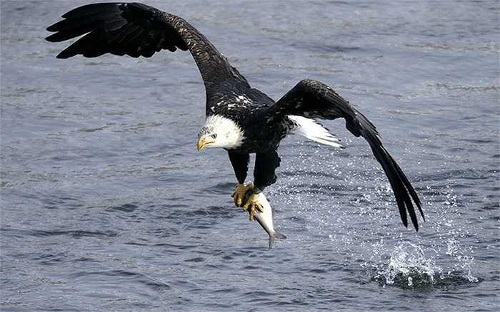 Đại bàng đạp mặt nước lạnh giá ở Iowa, Mỹ để tóm gọn con mồi đang bơi bên dưới