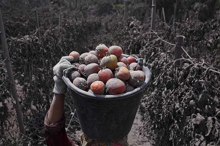 Người dân thu hoạch cà chua bám đầy tro bụi ở Sumatra, Indonesia