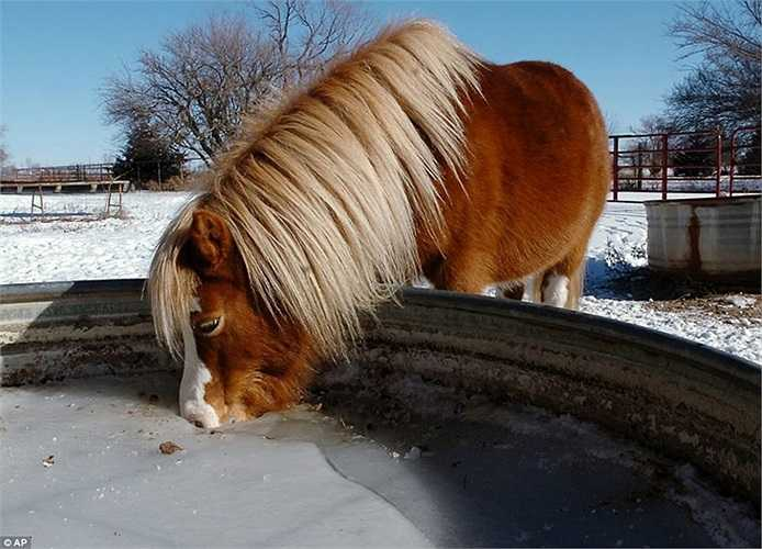 Chú ngựa uống nước trong máng đã đóng băng ở Oklahoma