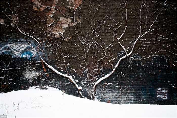 Thân cây bám tường phủ đầy tuyết ở Michigan