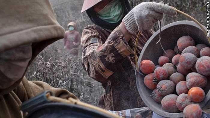 Tranh thủ thu hoạch cà chua trước khi sơ tán