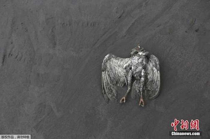 Một chú chim chết do làn khí nóng bốc ra từ núi lửa