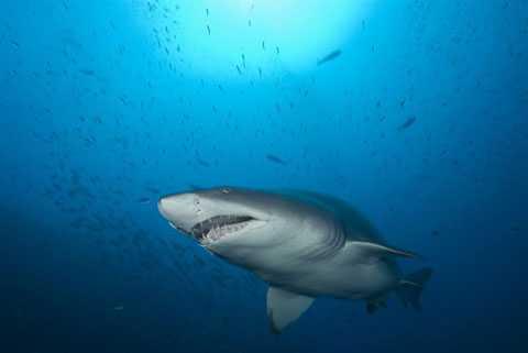 Cá mập hổ non sẵn sàng giết chết anh em ngay trong bụng mẹ