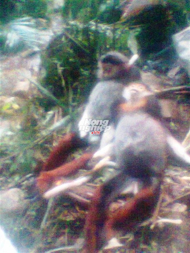 Những con voọc chà vá bị bắn hạ trong Khu Bảo tồn thiên nhiên Phong Điền