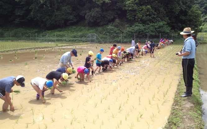 Học sinh tập trồng lúa