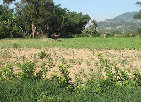 Cá thể bò tót làm náo loạn và húc thương vong 5 nạn nhân tại xã vùng cao huyện Đại Lộc, tỉnh Quảng Nam.