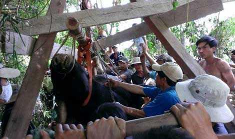Xác cá thể bò tót được đưa lên xe đông lạnh để bảo quản và đưa về Hà Nội.