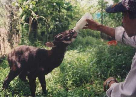 Cá thế Sao La được giải cứu tại xã Dương Hòa (Thừa Thiên- Huế) năm 1998