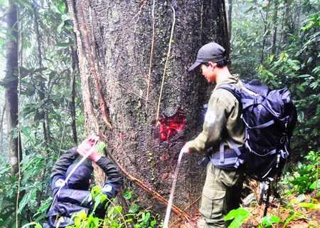 Một chuyến tuần rừng của đội BVR phát hiện được nhiều loài gỗ quý, kích thước lớn