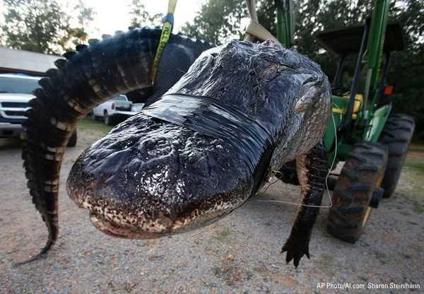 Con cá sấu khổng lồ