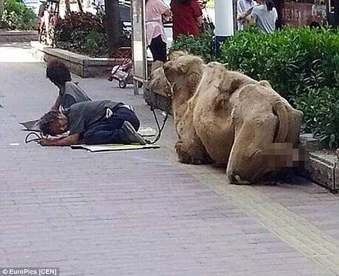 Chân lạc đà bị cắt cụt