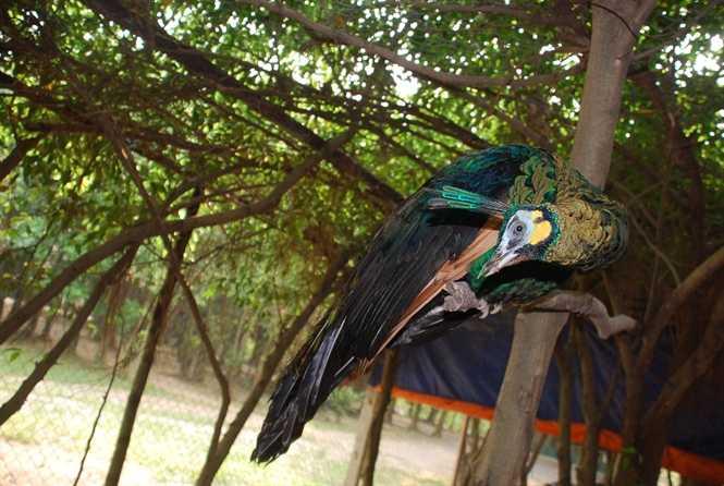 Chim công Việt Nam