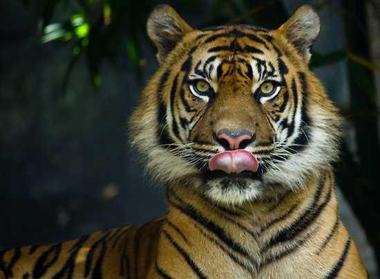So với những loài ăn thịt, hổ tỏ ra hứng khởi nhất khi ngửi mùi hợp chất trans-4,5-epoxy-(E)-2-decenal. Ảnh: redbubble.com