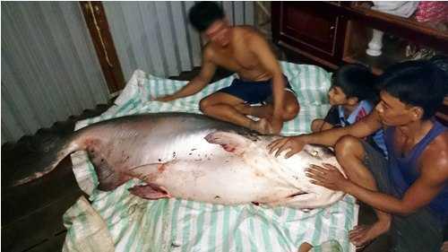 Con cá tra dầu có trọng lượng gần 140 kg vừa được nông dân ở tỉnh Đồng Tháp bắt được