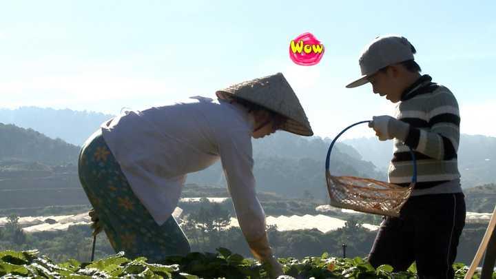 Nhiệm vụ dành cho các bé trong ngày thứ hai ở Lang Biang là hái dâu trong 30 phút. Trong lúc đó, các ông bố sẽ về nhà thu dọn hành lý và trở về điểm tập trung. Các bé hăng say lao động, thi nhau hái những quả dâu chín mọng với sự hướng dẫn của cô chủ vườn.