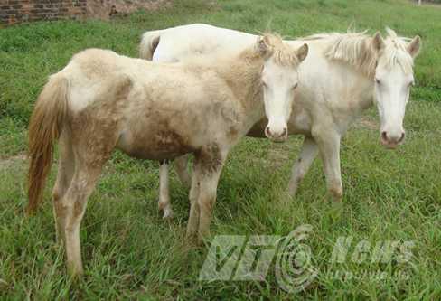 Ông Trọng nuôi nhiều ngựa bạch ở Yên Lập