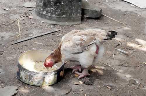 Loại gà có giá tiền triệu
