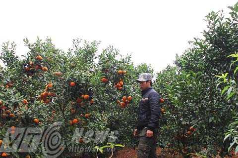 Nhờ kiên trì, chịu khó, chỉ sau vài năm trồng cam, Dũng đã thành tỷ phú