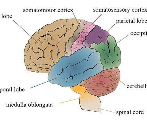 Vùng chi phối cảm giác xúc giác (somatosensory cortex) sẽ phát triển tốt hơn nhờ smartphone