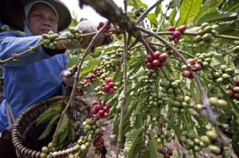 Kim ngạch xuất khẩu cà phê năm 2014 ước đạt 3,62 tỷ USD