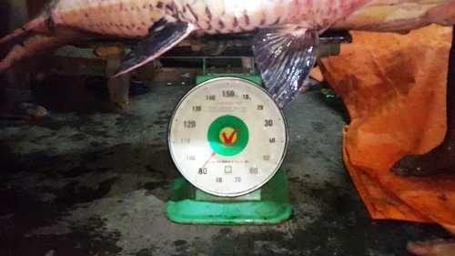 Con cá hô này nặng 90kg và được một nhà hàng tại TPHCM thu mua, tuy nhiên giá cá chưa được tiết lộ